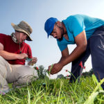 Two students pluck leaves off a milkweed plant