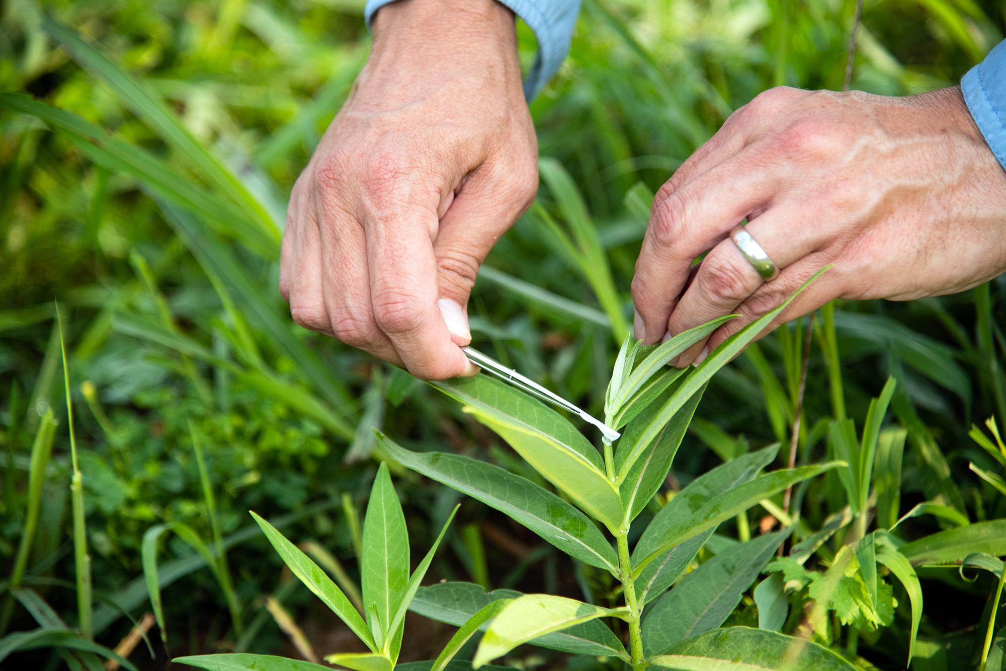 a man snips a segment of a milkweed plant