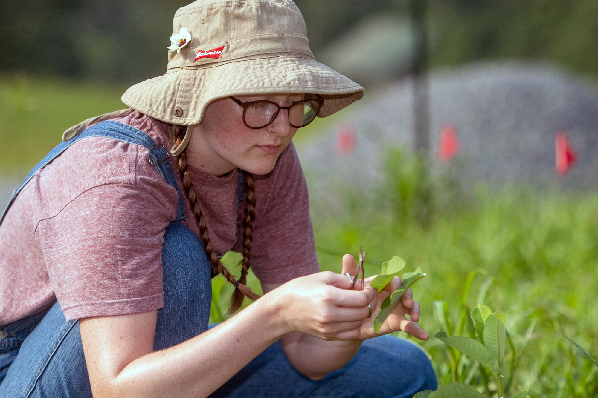 Danielle Hicks takes leaf clippings off a milkweed plant.