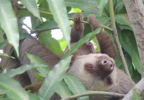 three toed- sloths