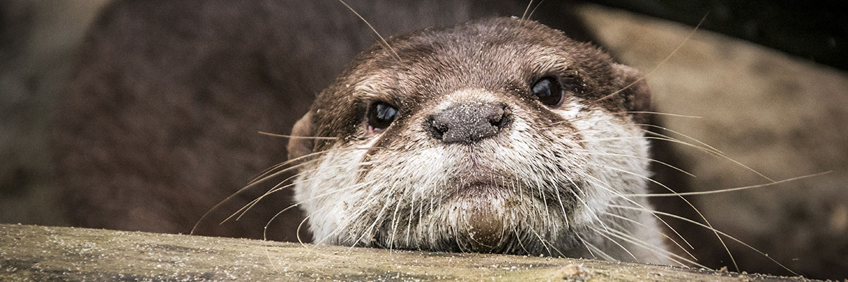 An otter face
