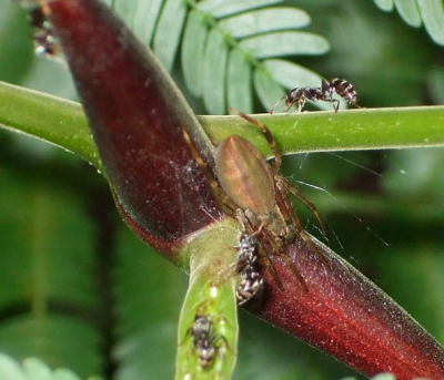 An orb weaver spider studied by Anna Ledin '16 and Dr. John Styrsky in Panama